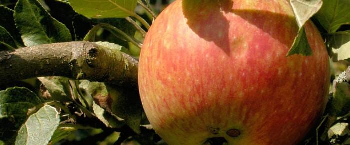 Der Apfel und der Wurm – Tanja Hammel zu den Apfel-Abstimmungs-Plakaten